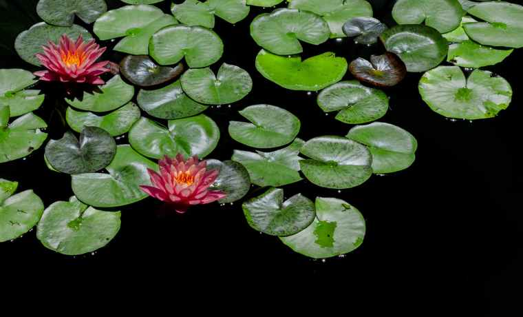 red and green lily pads focus photography